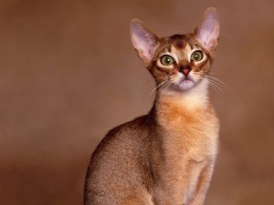 The Abyssinian cat is one of the Easier Breeds to Own