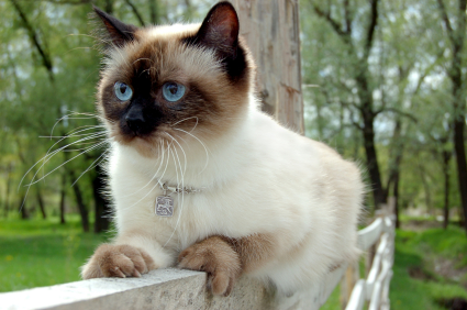 Siamese Cat Sitting Fence