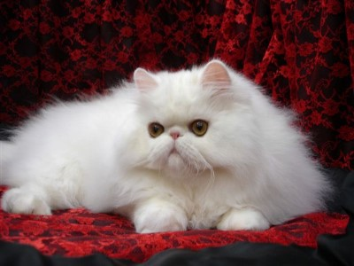 Deciding Whether a Persian Cat is ideal for Your Family