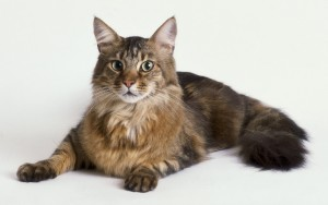 Discover Everything to Know about the Maine Coon Cat