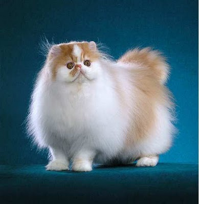 Long Haired Cat breed