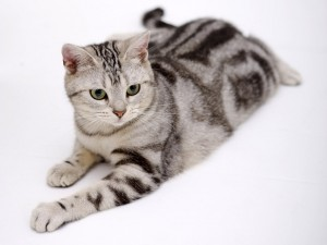 The American Shorthair cat
