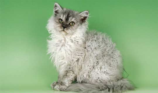 Poodle Cat is a freshly acknowledged breed