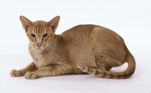 oriental cat shorthair