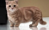 Things you must know about Munchkin Cats
