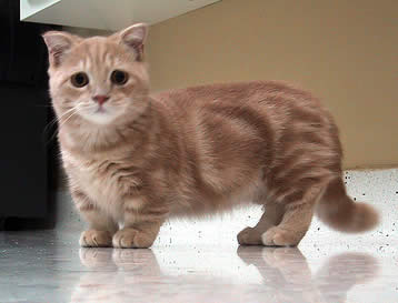Things you must know about Munchkin Cat