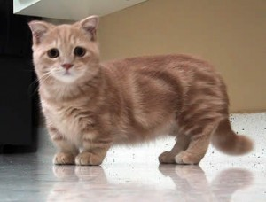 munchkin cat smallest cat breeds