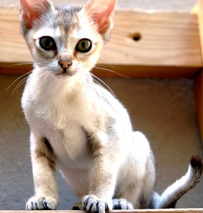 The_Singapura smallest cat breeds
