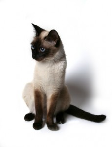 Masya smallest cat breeds