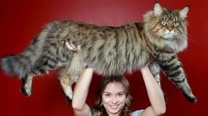 Five Largest cat breeds