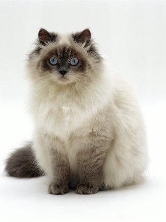 Several Cross Breed Cat