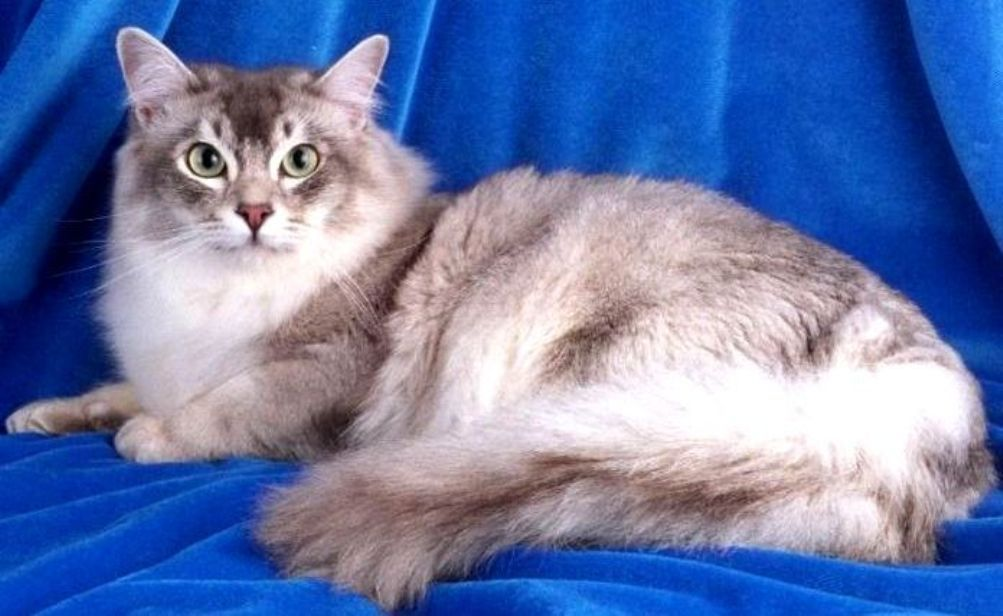 Burmese breed of a cat: character and photo